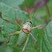 Ephippiger diurnus diurnus - Photo (c) Benoit NABHOLZ, algunos derechos reservados (CC BY-NC)