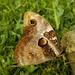 Opsiphanes bogotanus - Photo (c) Santi MD, μερικά δικαιώματα διατηρούνται (CC BY-NC)