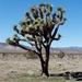 Yucca brevifolia brevifolia - Photo (c) Larry Page, algunos derechos reservados (CC BY)