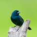 Blue-black Grassquit - Photo (c) Dario Sanches, some rights reserved (CC BY-SA)