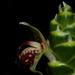 Zingiberaceae - Photo (c) Reinaldo Aguilar, osa oikeuksista pidätetään (CC BY-NC-SA)