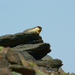 Black-capped Marmot - Photo (c) pilot34, some rights reserved (CC BY-NC-SA)