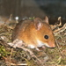 Golden Mouse - Photo (c) northganaturalist, some rights reserved (CC BY-NC)