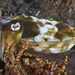 Mourning Cuttlefish - Photo (c) mattdowse, some rights reserved (CC BY-NC)