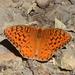 Speyeria adiaste - Photo (c) Stacie Wolny, algunos derechos reservados (CC BY-NC-SA)