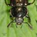 Platyceroides aeneus - Photo no hay derechos reservados