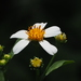 Aceitilla Blanca - Photo (c) 葉子, algunos derechos reservados (CC BY-NC-ND)