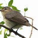 Vireos - Photo (c) Shanthanu Bhardwaj, some rights reserved (CC BY-SA)