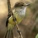 Myiarchus magnirostris - Photo (c) David Cook Wildlife Photography,  זכויות יוצרים חלקיות (CC BY-NC)