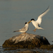 Little Tern - Photo (c) Marina Gorbunova, some rights reserved (CC BY-NC)
