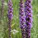 Liatris spicata - Photo Sem direitos reservados