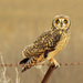 Short-eared Owl - Photo (c) Hugo, some rights reserved (CC BY-NC)