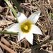 Romulea flava - Photo (c) bandv007,  זכויות יוצרים חלקיות (CC BY-NC)