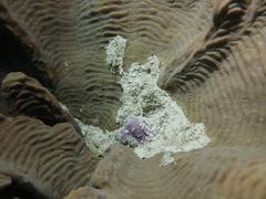 Cymatium aquatile image
