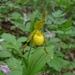 Cypripedium parviflorum pubescens - Photo (c) Evan M. Raskin,  זכויות יוצרים חלקיות (CC BY)