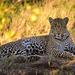 Leopardo - Photo (c) janaohrner, algunos derechos reservados (CC BY-NC)