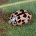 Oenopia conglobata - Photo (c) Gilles San Martin, μερικά δικαιώματα διατηρούνται (CC BY-SA)