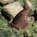 Mariposa Cometa Variable de Manchas Rojas - Photo (c) Francisco Jose Gomez Marin, algunos derechos reservados (CC BY-NC)