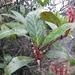 Agapetes nuttallii - Photo (c) Phuentsho, algunos derechos reservados (CC BY-NC-SA)