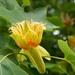 Tulípero de Virginia - Photo (c) Kew on Flickr, algunos derechos reservados (CC BY-NC-SA)