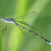 Pond Spreadwings - Photo (c) Anthony Zukoff, some rights reserved (CC BY-NC-SA)