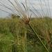 Cyperus giganteus - Photo (c) Fabricio Gorleri, osa oikeuksista pidätetään (CC BY-NC)
