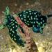 Nembrotha cristata - Photo (c) Dan Schofield,  זכויות יוצרים חלקיות (CC BY)