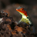 Galápagos Lava Lizard - Photo (c) Max Westby, some rights reserved (CC BY-NC-SA)