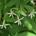 Gillenia trifoliata - Photo (c) John Ratzlaff,  זכויות יוצרים חלקיות (CC BY-NC-ND), uploaded by J. Allen Ratzlaff