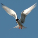 Forster's Tern - Photo (c) Jack Wolf, some rights reserved (CC BY-NC-ND)