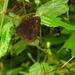 Praepronophila perperna perperna - Photo (c) Indiana Cristo, osa oikeuksista pidätetään (CC BY-NC)