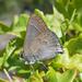 Satyrium tetra - Photo (c) kevinhintsa, osa oikeuksista pidätetään (CC BY-NC)