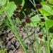 Juncus ensifolius - Photo (c) Chloe and Trevor, algunos derechos reservados (CC BY-NC)