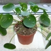 Chinese Money Plant - Photo (c) Maja Dumat, some rights reserved (CC BY)