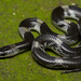 Barred Wolf Snake - Photo (c) avrajjal, some rights reserved (CC BY-NC)