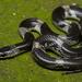 Lycodon striatus - Photo (c) avrajjal, algunos derechos reservados (CC BY-NC)