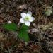 Anemonastrum deltoideum - Photo (c) fernfrond, algunos derechos reservados (CC BY-NC)