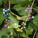 Ampelopsis glandulosa - Photo (c) harum.koh, algunos derechos reservados (CC BY-NC-SA), uploaded by harum.koh