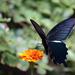 Papilio demetrius - Photo (c) harum.koh, algunos derechos reservados (CC BY-NC-SA), uploaded by harum.koh