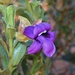 Eremophila willsii - Photo (c) johneichler, some rights reserved (CC BY-NC)