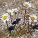 Arctanthemum arcticum - Photo (c) Samuel Brinker, algunos derechos reservados (CC BY-NC)