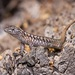 Northern Painted Smooth-throated Lizard - Photo (c) dhfischer, some rights reserved (CC BY-NC)
