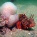 Σκορπιός - Photo (c) reefwatcher, μερικά δικαιώματα διατηρούνται (CC BY-NC)