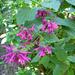 Salvia purpurea - Photo (c) scott.zona, some rights reserved (CC BY)