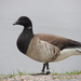 Brant - Photo (c) Sue Wetmore, some rights reserved (CC BY-NC)