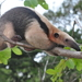 Southern Tamandua - Photo (c) Frederico Acaz Sonntag, some rights reserved (CC BY-NC)