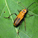 Goldenrod Soldier Beetle - Photo (c) Katja Schulz, some rights reserved (CC BY)