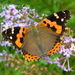 Indian Red Admiral - Photo (c) 112602805110920073392, some rights reserved (CC BY-NC-SA), uploaded by Alok Mahendroo