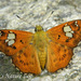 Skippers - Photo (c) 112602805110920073392, some rights reserved (CC BY-NC-SA), uploaded by Alok Mahendroo