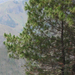 Pinus merkusii - Photo (c) mohd fahmi on Flickr, algunos derechos reservados (CC BY-SA)
